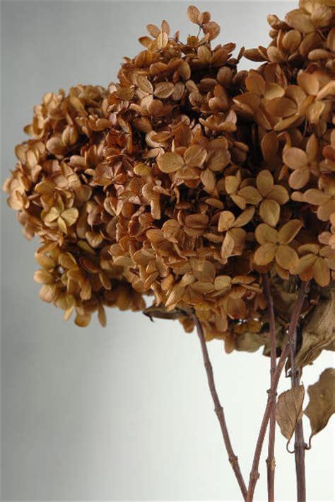 stems  natural preserved brown hydrangeas flowers