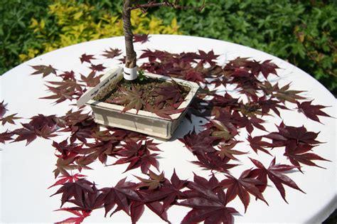 bonsai umtopfen anleitung bonsai interessant bonsai anleitung beabsichtigt richtig umtopfen wurzelwerk mit draht fixieren