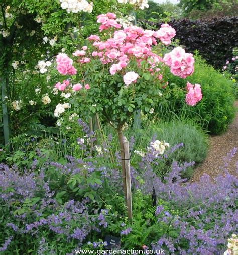 shrub roses rosa bonica rose pictures and description