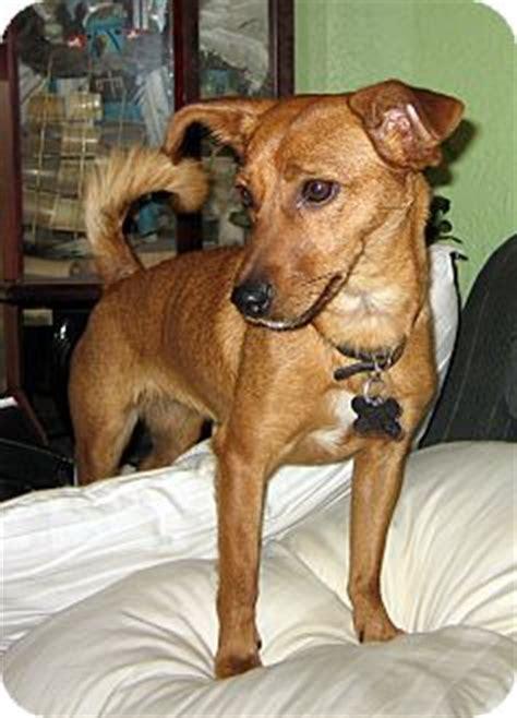 jemez springs nm rat terrier meet libby  pet