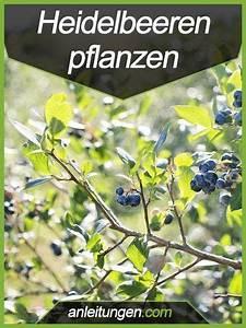 Wann Heidelbeeren Pflanzen : heidelbeeren pflanzen in diesem artikel wird dir ausf hrlich erkl rt wie man heidelbeeren ~ Orissabook.com Haus und Dekorationen