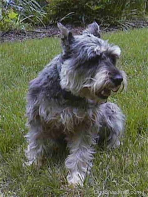 miniature schnauzer dog breed pictures