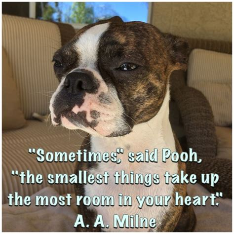 Boston Terrier Meme - 17 best images about boston terrier memes dogs and puppies too on pinterest swimming memes