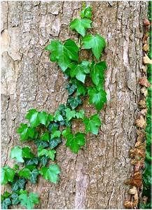 Efeu Pflanzen Kaufen : frischer und alter efeu foto bild pflanzen pilze flechten b ume baumrinden wurzeln ~ Buech-reservation.com Haus und Dekorationen
