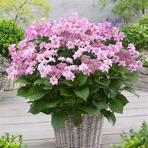 Hydrangea Macrophylla Winterhart : buy hydrangea syn doppio rosa hydrangea macrophylla ~ Michelbontemps.com Haus und Dekorationen