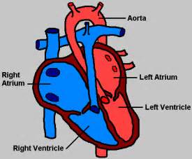 hd wallpapers basic heart diagram wds.vinhcom.press, Muscles