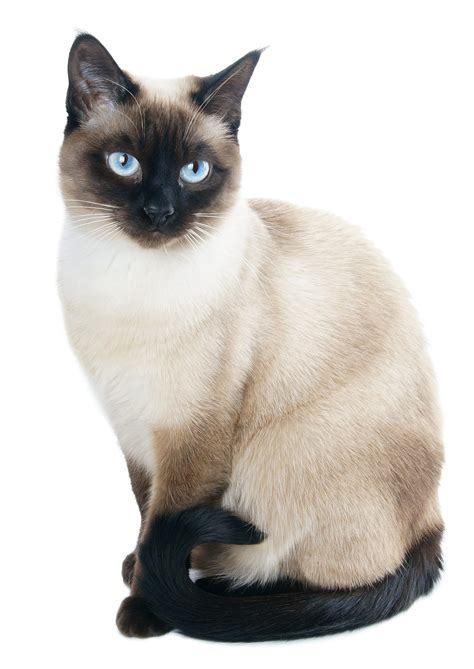 Cat Breeds  Siamese Gosouth