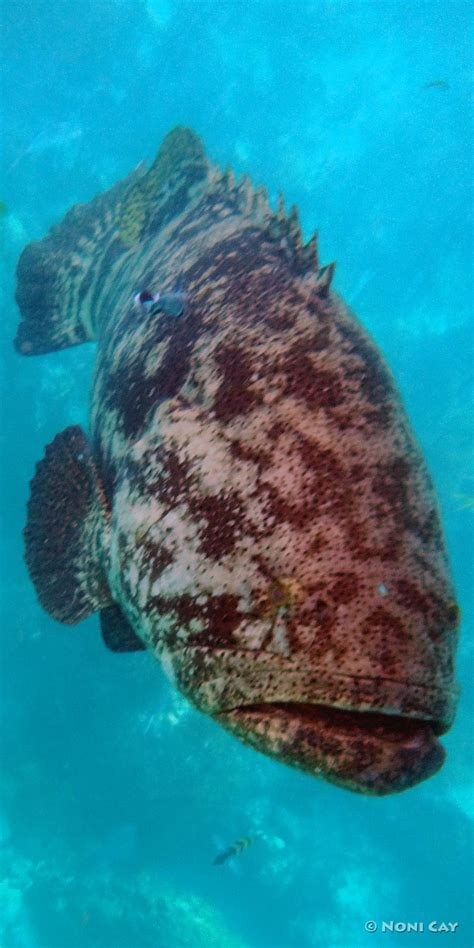 goliath atlantic yellow groupers snappers looe key tailed grouper perfect yesterday conditions near today