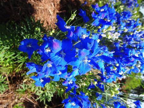 blue flower   landscape lsu agcenter
