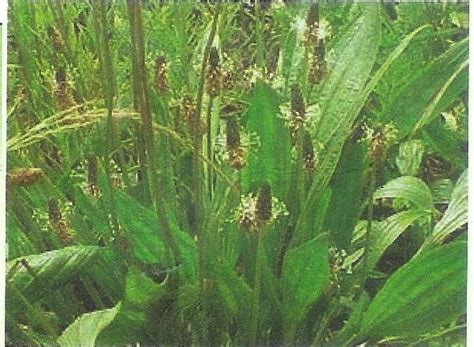 cuisiner le plantain le plantain une herbe pas si mauvaise cuisiner les