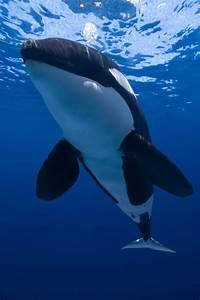 Orca    Killer Whale  Orcinus Orca   Blue Photo Archives
