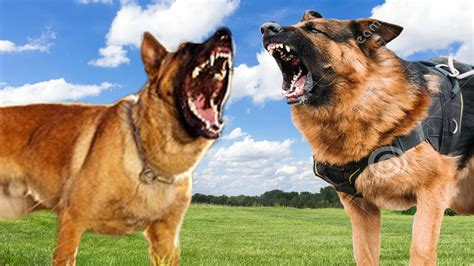 Belgian Malinois Vs German Shepherd Shedding by Belgian Malinois Vs German Shepherd Comparison K9