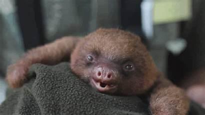 Sloth Inner Artifacting Yawning