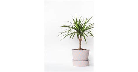 madagascar dragon tree  houseplants   light