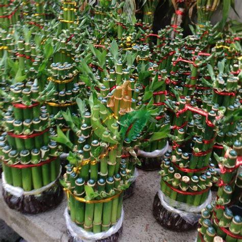 jual tanaman hias bambu cina agro bibit