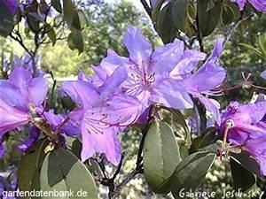 Wann Blüht Der Rhododendron : rhododendren rhododendron augustinii schneiden pflege pflanzen bilder fotos garten ~ Eleganceandgraceweddings.com Haus und Dekorationen