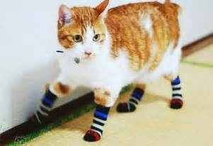 socks the cat caterville cats wearing socks
