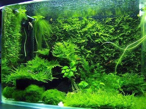 Aquascape Moss by Moss Carpet Aquascape