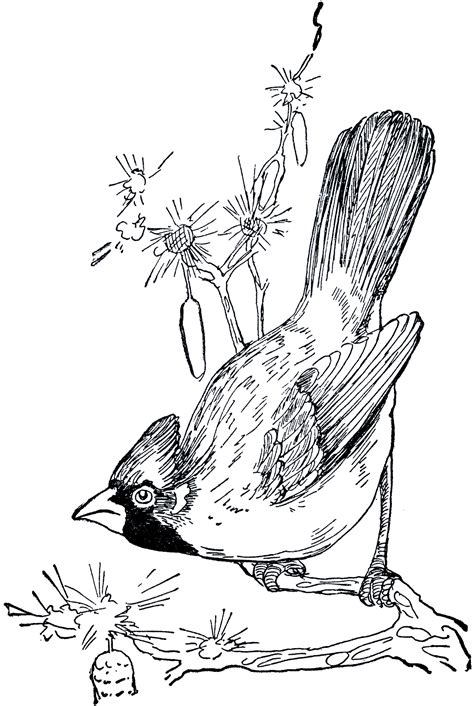 vintage cardinal drawing graphics fairy