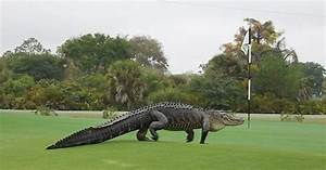 Giant 'dinosaur-looking' gator found on Florida golf ...