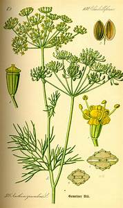 Apiaceae Page
