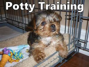 Morkie puppies how to potty train a morkie puppy morkie for Trouble potty training dog