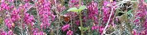 Plante Detoxifiante : bruy re cendr e erica cinerea bio phyto shop ~ Melissatoandfro.com Idées de Décoration