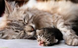 protectors for cats the big protector cats wallpaper 36977156 fanpop
