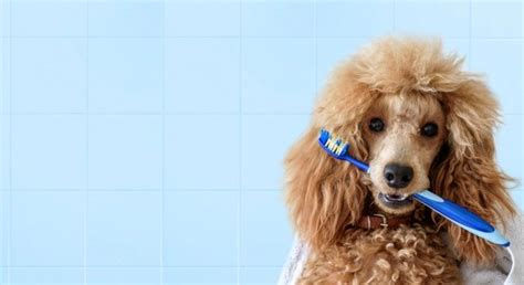 dealing  poodle odors thriftyfun