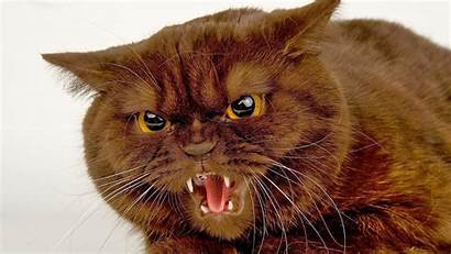 Angry Cat Desktop Wallpapers Cats Downloads Annoyed