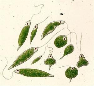 Euglenid