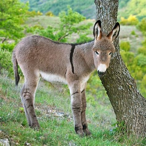 donkey andalusian provence facts miniature farm baby donkeys kimballstock young animal animals scratching mini mam classification clip neck pet mule