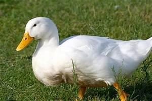 White Pekin Ducks - Waterfowl Hatchery Cackle Hatchery