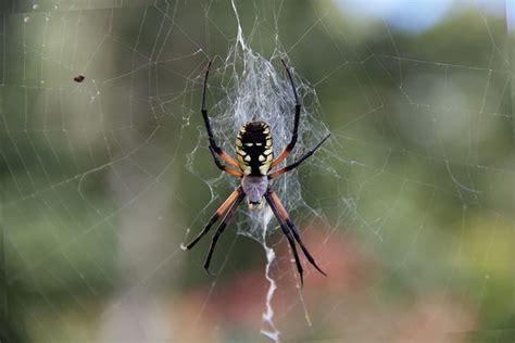 Female 'black And Yellow Garden Spider'
