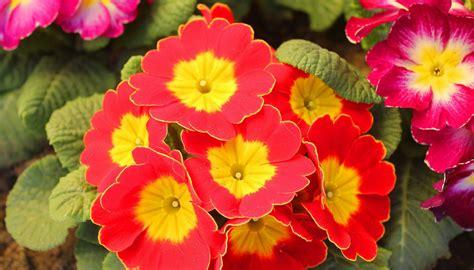fiori da giardino perenni foto i giardini dove vedere i ciliegi fioriti in giappone