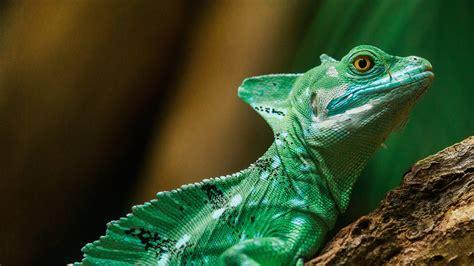 green reptile  wallpaper hd wallpapers