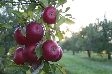 Free picture: fruit, leaf, nature, food, garden, apple ...