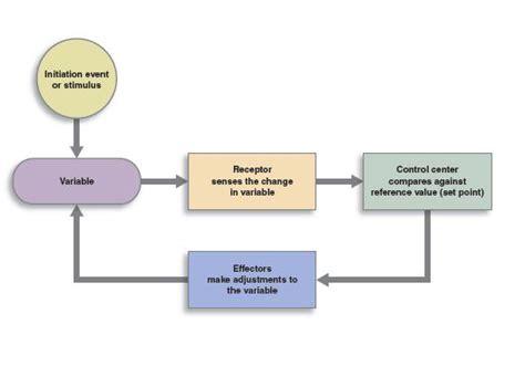 homeostasis  feedback loops anatomy physiology