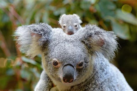 baby koala macadamia born  australia zoo  popsugar
