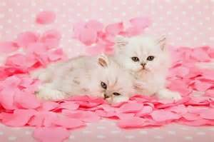 pink cats pink cats pretty kitty