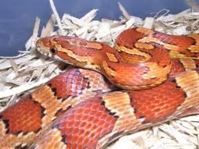 Florida Corn Snake