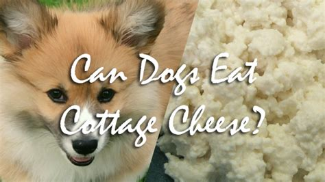 Can Puppies Eat Cottage Cheese by Can Dogs Eat Cottage Cheese Pet Consider