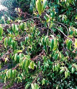 Heidelbeere Im Kübel : heidelbeere 2 0 39 maqui beere 39 1a qualit t baldur garten ~ Lizthompson.info Haus und Dekorationen