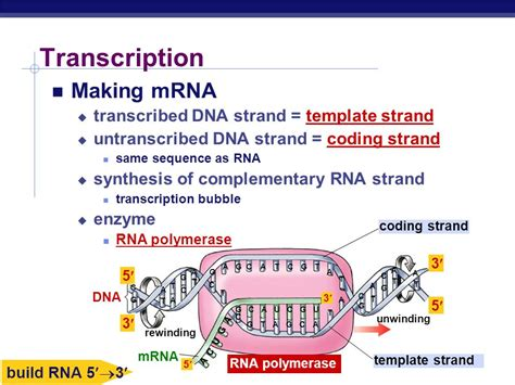 template vs coding strand from gene to protein how genes work ppt