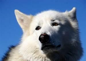 Weiße Kürbisse Kaufen : der grosse weisse hund foto bild tiere haustiere hunde bilder auf fotocommunity ~ Markanthonyermac.com Haus und Dekorationen