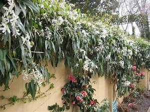 Evergreen Clematis Flowering Vines for Yearlong Color HGTV