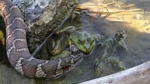 Snake eating a Frog as the Frog eats the Snake - YouTube