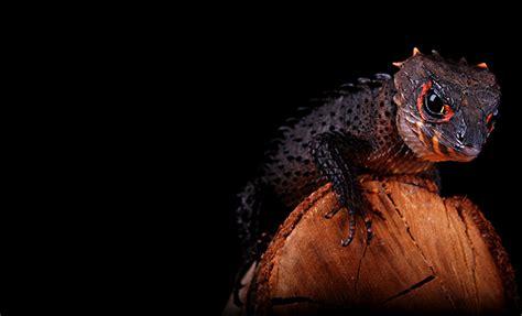 David Sucianto, Bogor, Indonesia - Tribolonotus gracilis