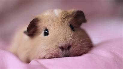 Pig Guinea Couch Adorable Wallpapers
