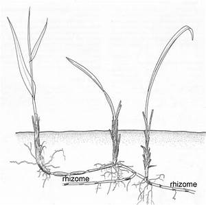 Diagrams Of Bulbs Tubers Rhizomes Pictures to Pin on ...
